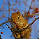 Red Squirrel - It's Breakfast Time by Molly  Kinsey