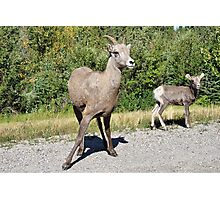 Mountain Sheep Mom and Baby Photographic Print