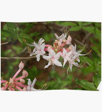 Rhododendron canescens Poster