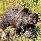 Grizzly Bear by Teresa Zieba