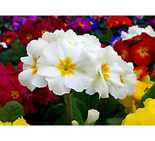 First primroses Photographic Print