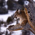 Cougar by mrshutterbug
