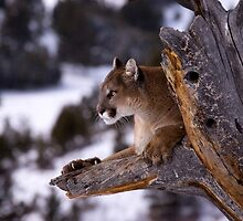 Cougar by mrshutterbug