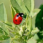 Seven-spotted Ladybird Beetle, coccinella septempunctata by pogomcl