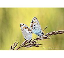 Mating Reverdin Blue Plebejus argyrognomon Photographic Print
