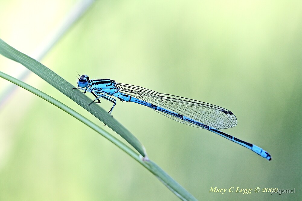 Male Azure Damselfly, coenagrion puella by pogomcl