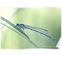 Male Azure Damselfly, coenagrion puella Poster