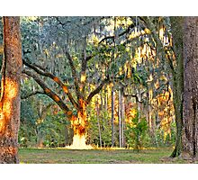 07-136 - Queen of the Oaks with the sun as her crown Photographic Print