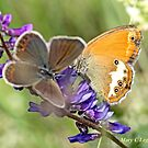 Female Idas Blue, plebejus idas  and Pearly Heath,Coenonympha arcania   by pogomcl
