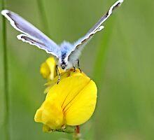 Blue butterfly   on  birdsfoot trefoil by pogomcl