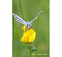 Blue butterfly   on  birdsfoot trefoil Photographic Print