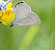 Little Blue , Cupido minimus with Reverdin Blue by pogomcl