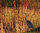 Heron in Bulrushes by Carol Bleasdale