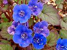 Desert Bluebells by Lucinda Walter