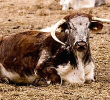 English Longhorn by Paul Adkin