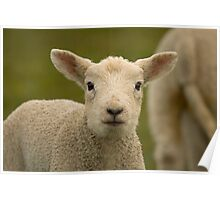 Little spring lamb two Poster