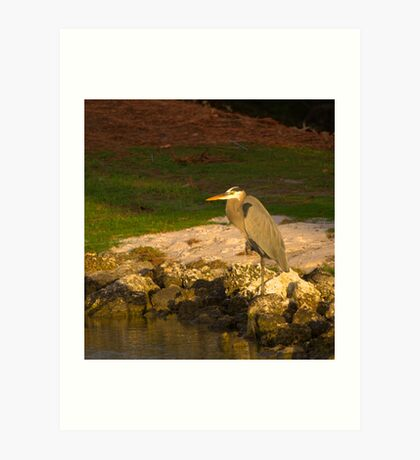 Blue Heron in crouch Art Print