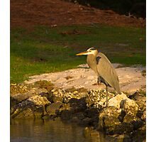 Blue Heron in crouch Photographic Print