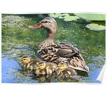 Mallard Mama with her Babies Poster