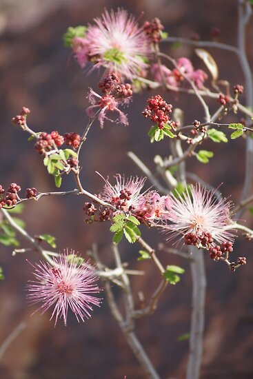 Pink ;Calliandra Eriophylla;Pink Fairyduster; Along Route 10 East towards Arizona; Lei Hedger Photography All Rights Reserved by leih2008