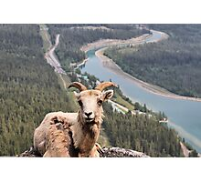 Female Mountain Bighorn Sheep Photographic Print