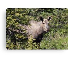 Moose in Kananaskis  Canvas Print
