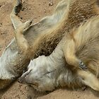 Meercats playing dead at Taronga Zoo by DStewart1