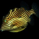 Female Shaw's Cowfish by Carolien Mermans