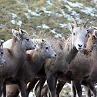 Mountain Sheep Herd by Alyce Taylor