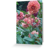 pink dahlias Greeting Card