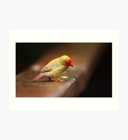 One of those little Finch things with a red face... Art Print