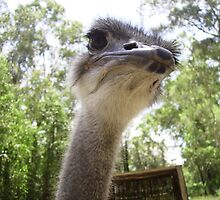 Inquisitive Ostrich. by Mywildscapepics
