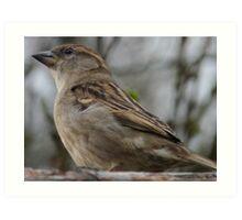 House Sparrow ( Passer domesticus) Art Print