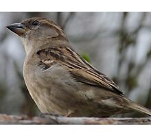 House Sparrow ( Passer domesticus) Photographic Print