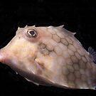 Turretfish, Camp Cove, Sydney Harbour by Erik Schlogl