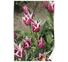 Lipstick Tulips Poster