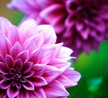 Dahlia in Springtime by rickvohra