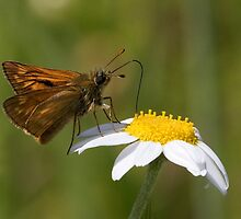 Large Skipper by Neil Bygrave (NATURELENS)