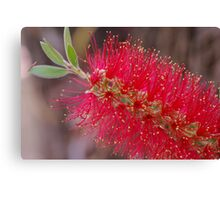 Bright Red Bottle Brush Canvas Print