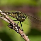Female Keeled Skimmer by Neil Bygrave (NATURELENS)