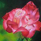 Rosa Flamenca by lanadi