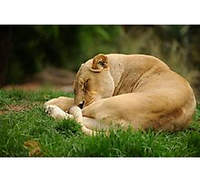 Sleeping Lioness Photographic Print