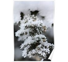 Hoar Frost On Pine Poster