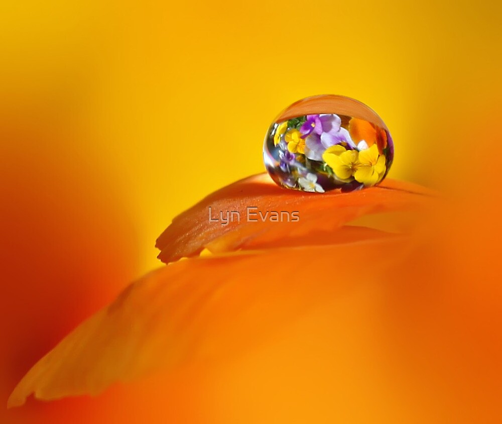 Pansy drop by Lyn Evans