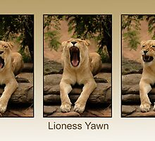 Sleepy Lioness in Super Triptych by Tom Grieve
