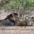 THE LIONS AT THE GIRAFFE KILL by Magriet Meintjes