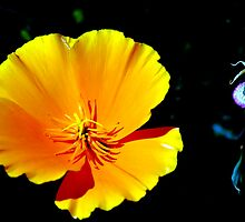 California Golden Poppy by Bob Wall