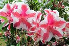 Azaleas In the March Rain by AuntDot