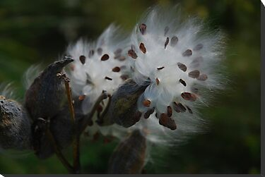 Milkweed Dreamy by bunnij