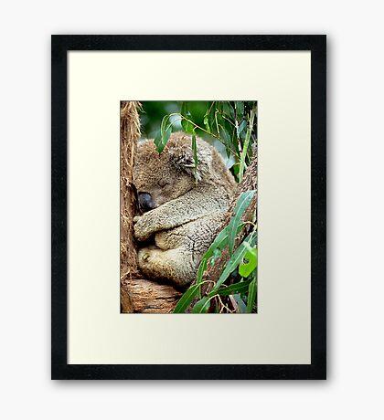 Sleeping Koala Framed Print